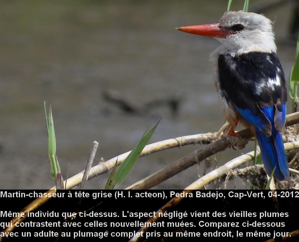 Halcyon_leucocephala_2fr.jpg