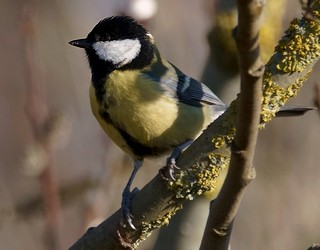 Parus_major_nicheurs