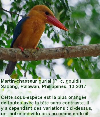 Pelargopsis_capensis_2fr