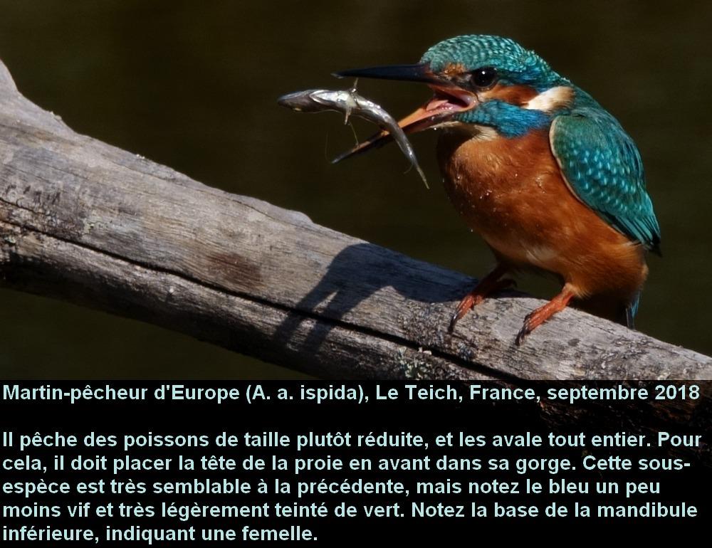 Alcedo_atthis_2fr.jpg