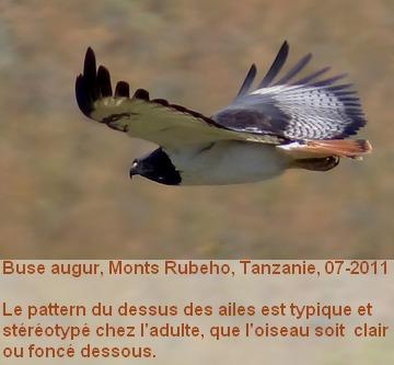 Buteo_augur_1fr