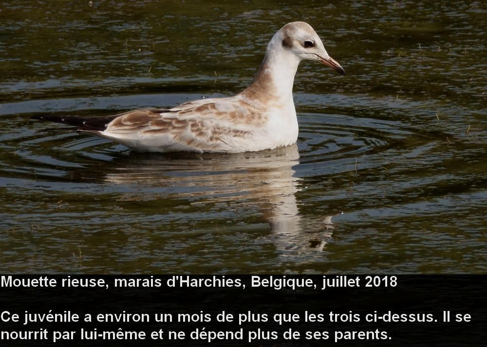 Chroicocephalus_ridibundus_3fr