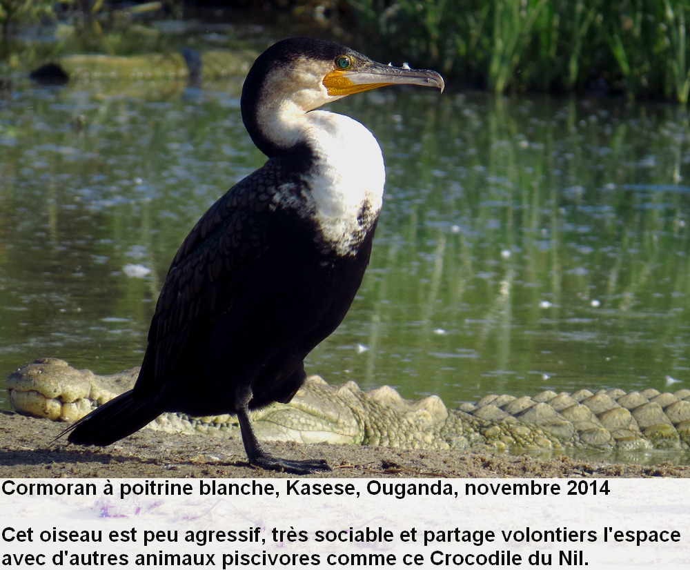 Phalacrocorax_lucidus_1fr.jpg