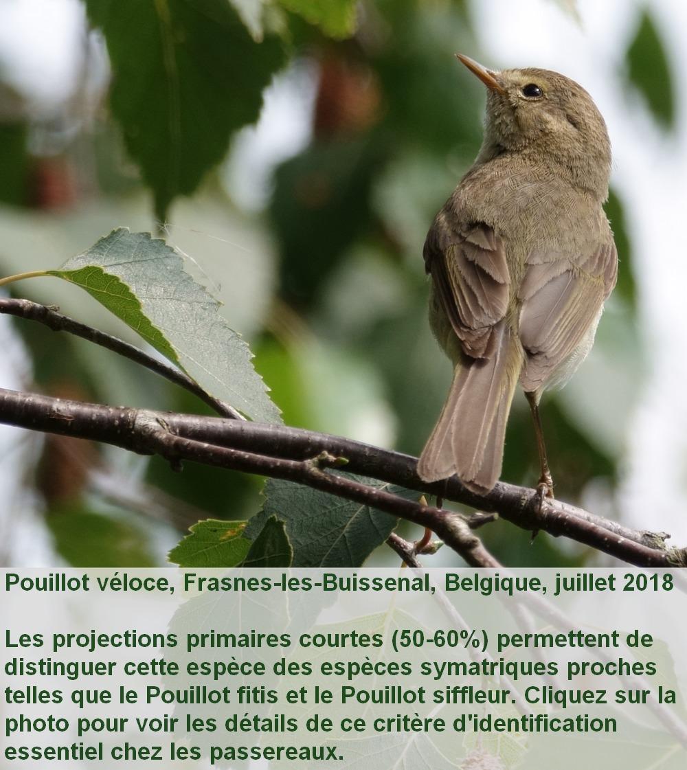 Phylloscopus_collybita_3fr.jpg