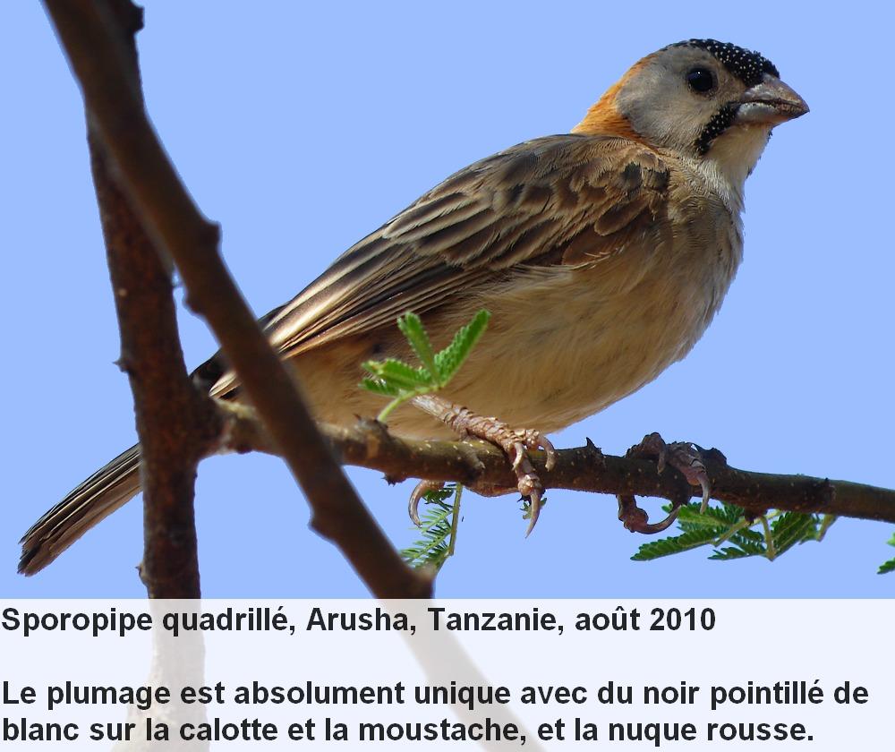 Sporopipes_frontalis_1fr.jpg
