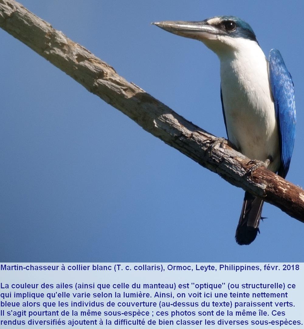 Todiramphus_chloris_2fr.jpg