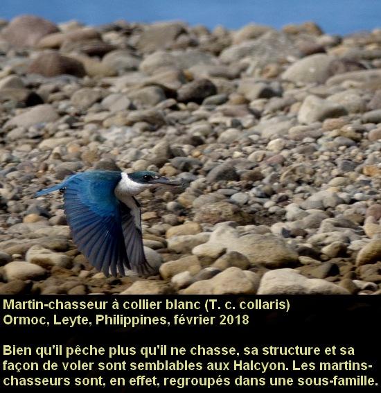 Todiramphus_chloris_3fr