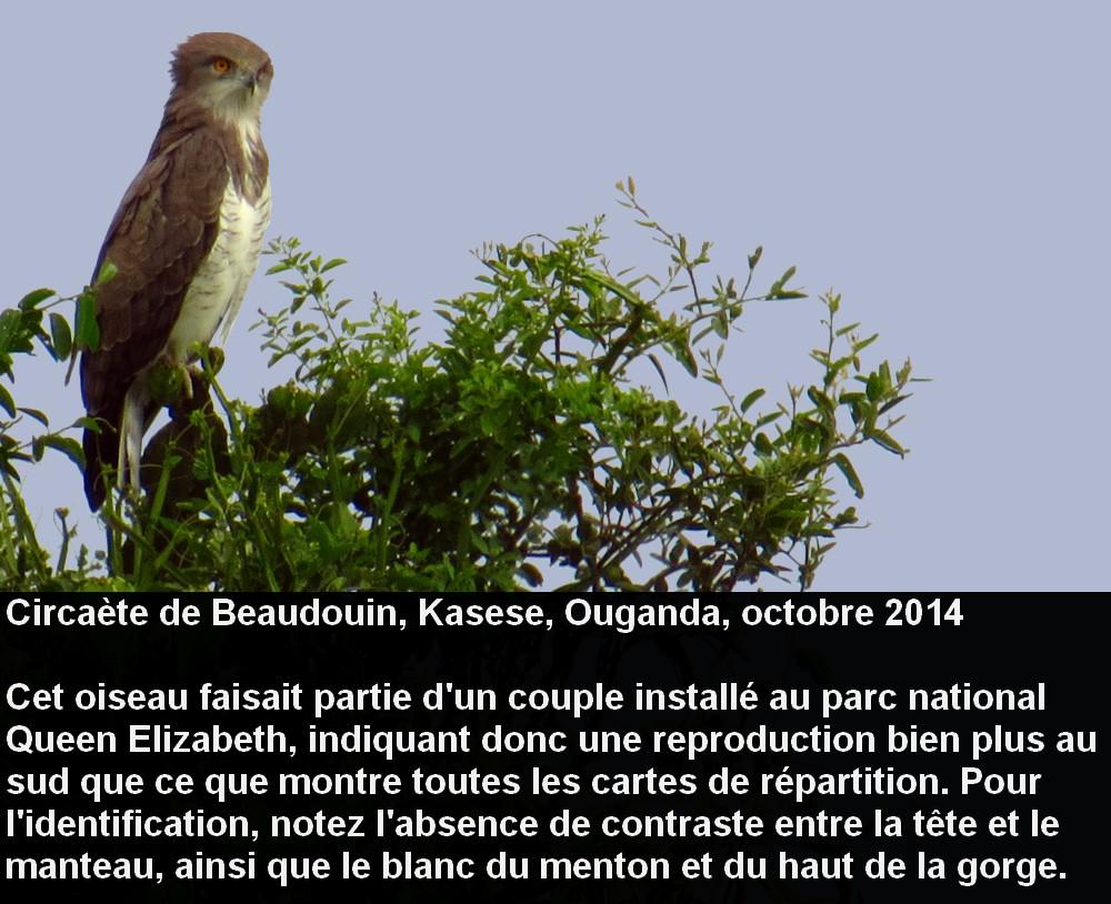 Circaetus_beaudouini_2fr.jpg