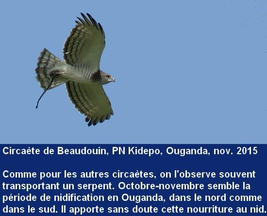 Circaetus_beaudouini_3fr.jpg