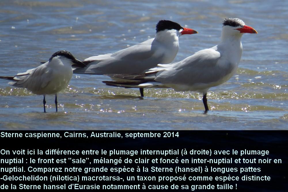 Hydroprogne_caspia_1fr.jpg