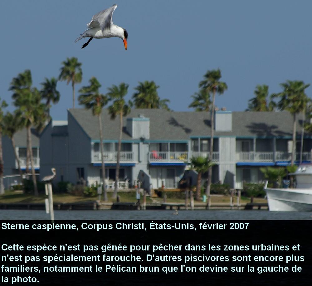 Hydroprogne_caspia_4fr.jpg