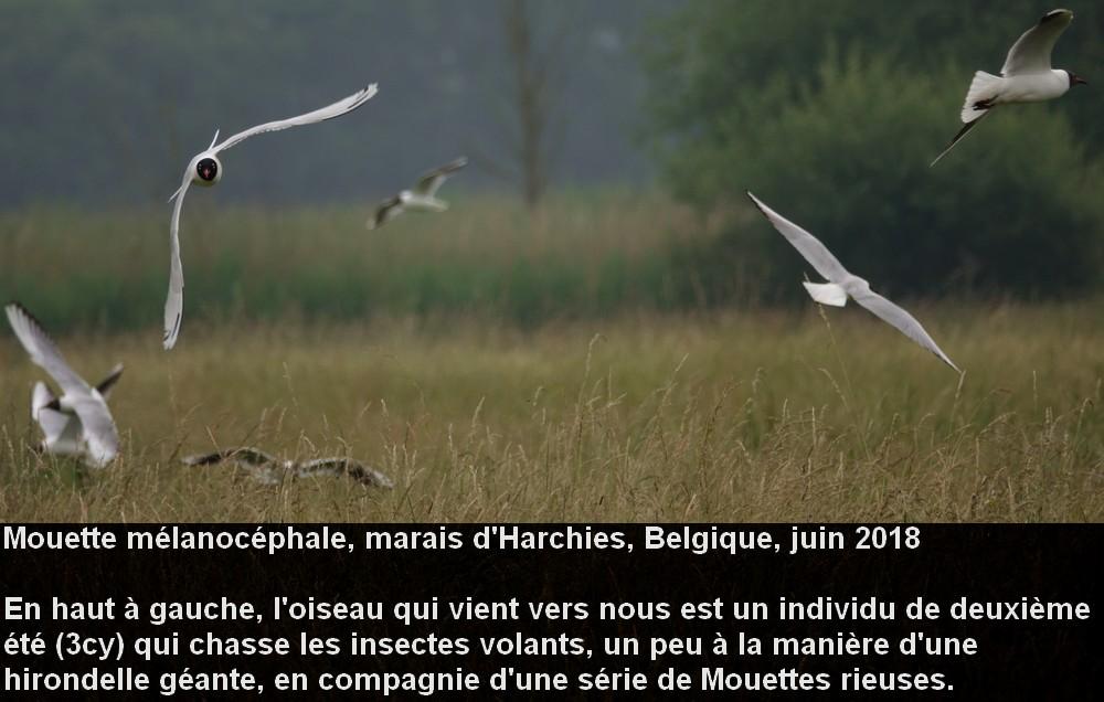 Ichthyaetus_melanocephalus_3fr.jpg
