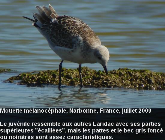 Ichthyaetus_melanocephalus_7fr.jpg