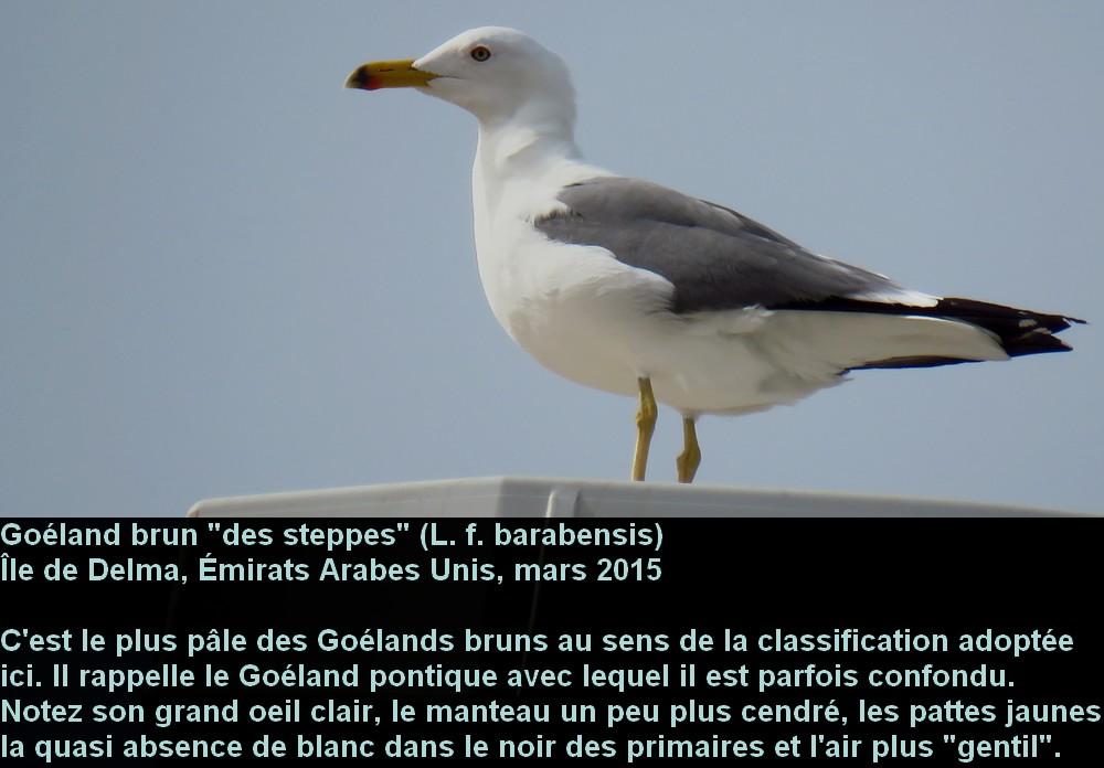Larus_fuscus_3fr.jpg
