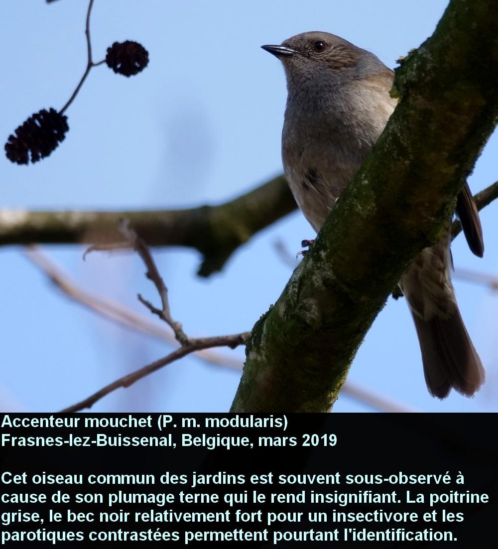 Prunella_modularis_1fr.jpg