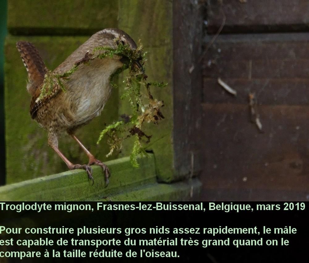 Troglodytes_troglodytes_6fr.jpg