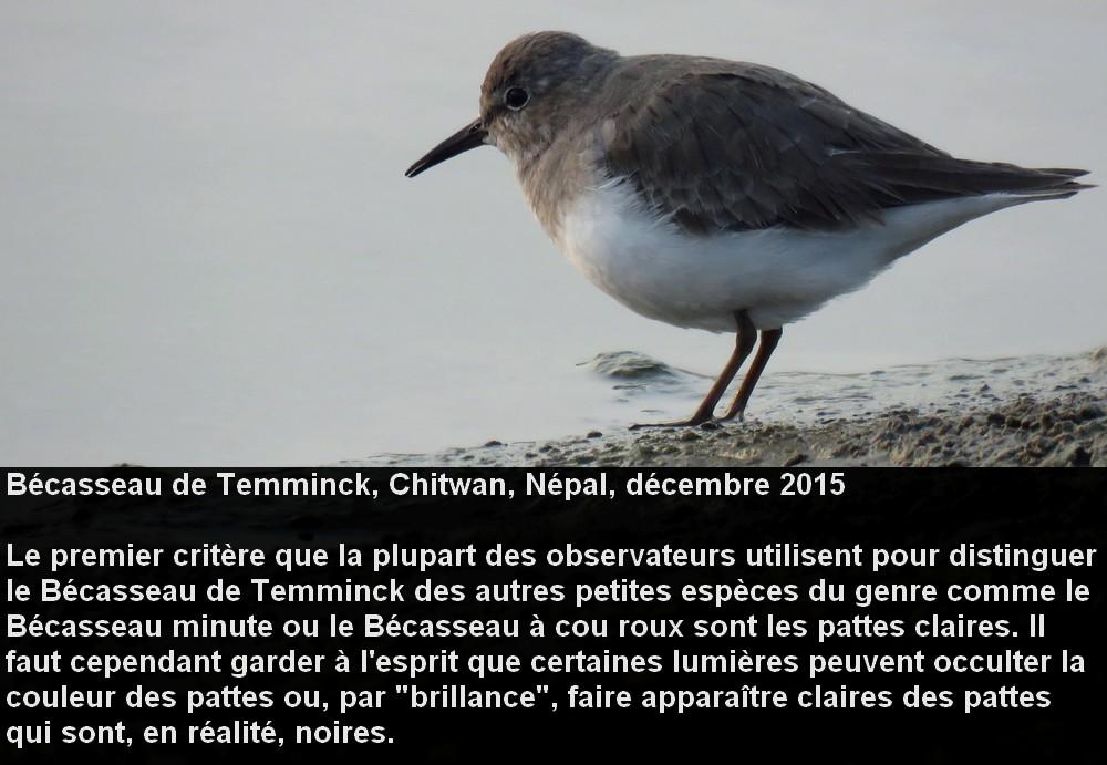 Calidris_temminckii_3fr.jpg