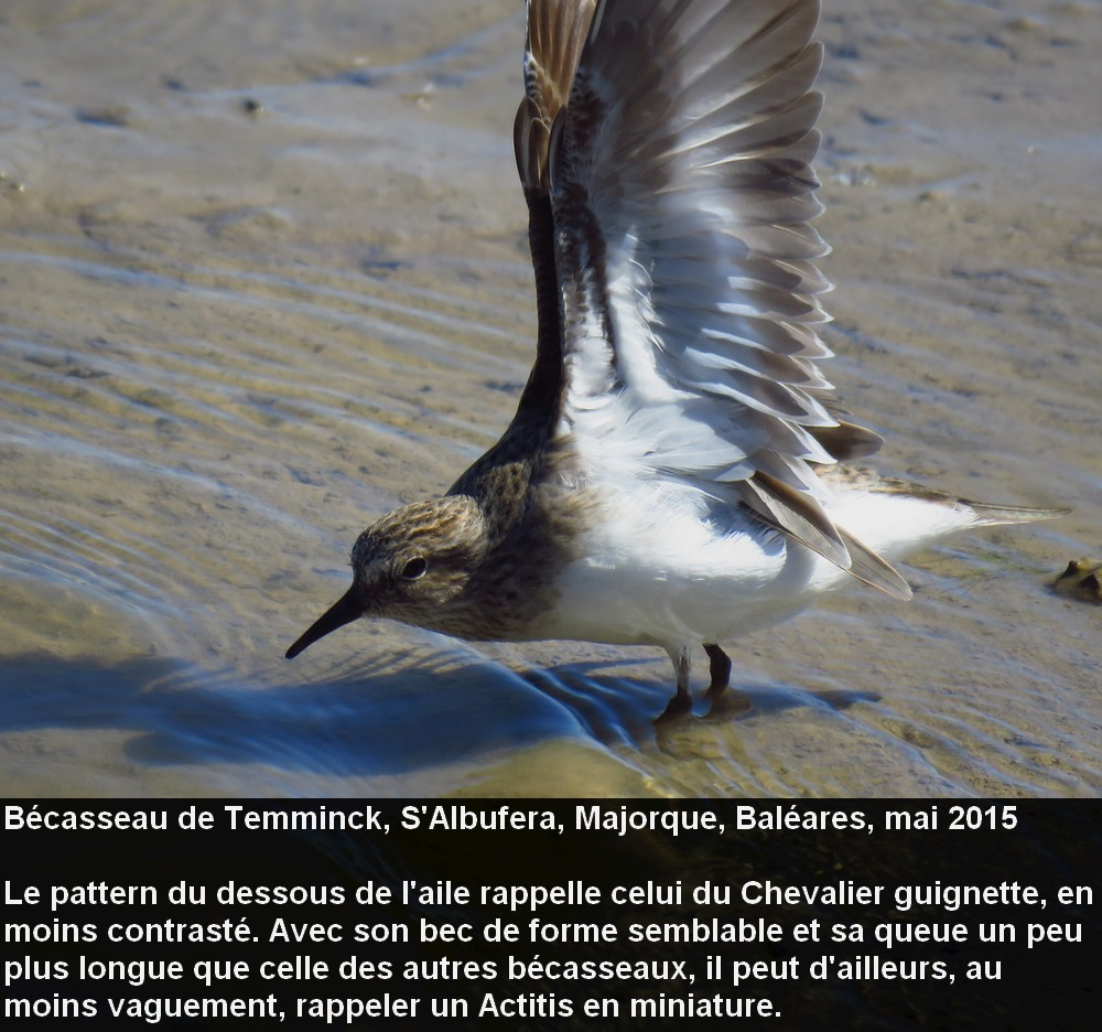 Calidris_temminckii_4fr