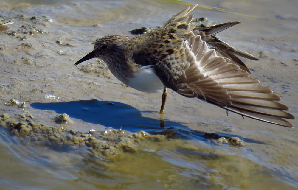Calidris_temminckii_main.JPG