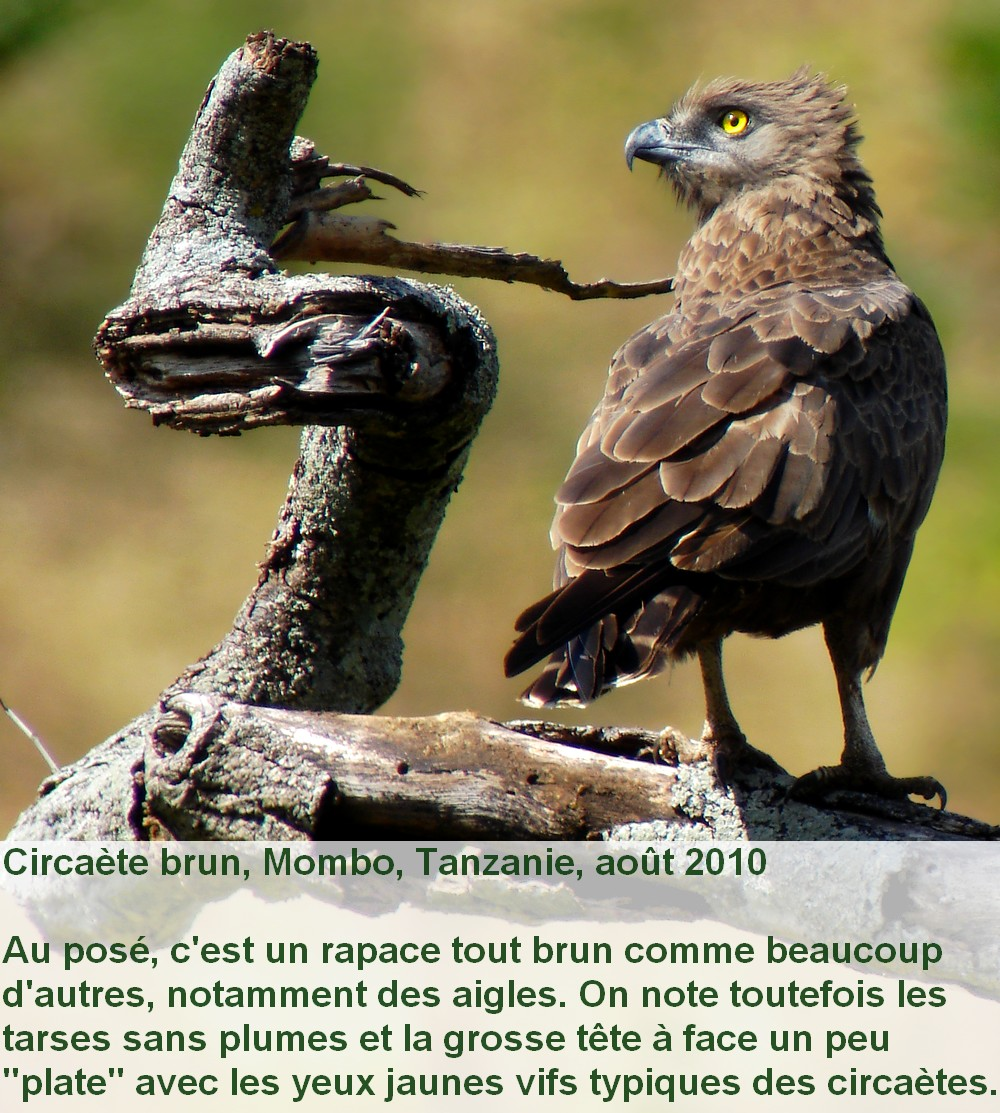 Circaetus_cinereus_2fr.jpg