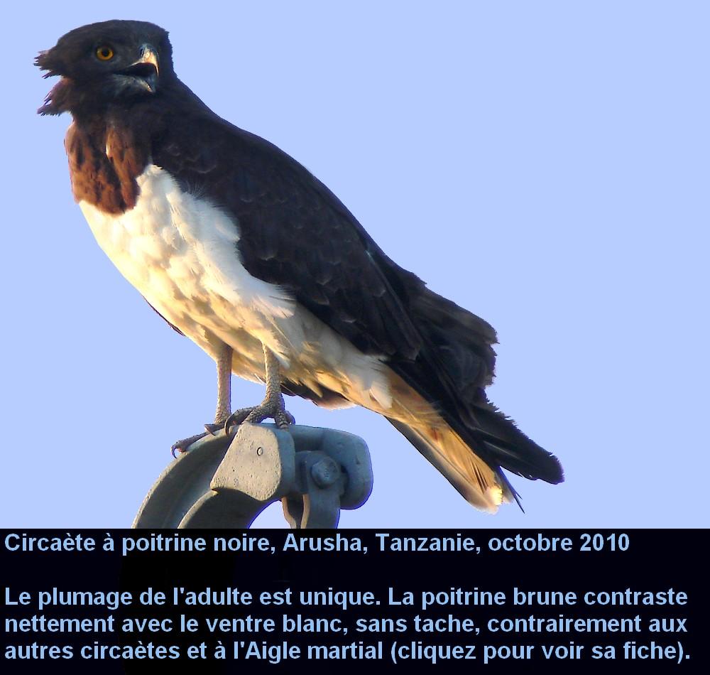Circaetus_pectoralis_1fr.jpg