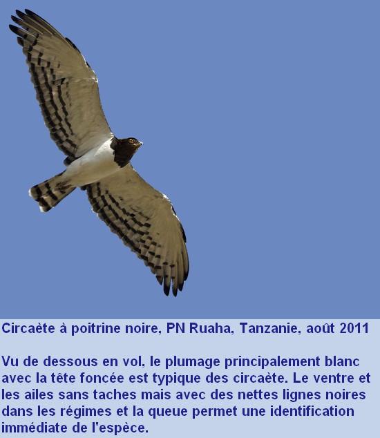 Circaetus_pectoralis_4fr.jpg