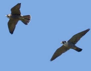 Falco_peregrinus_frasnes