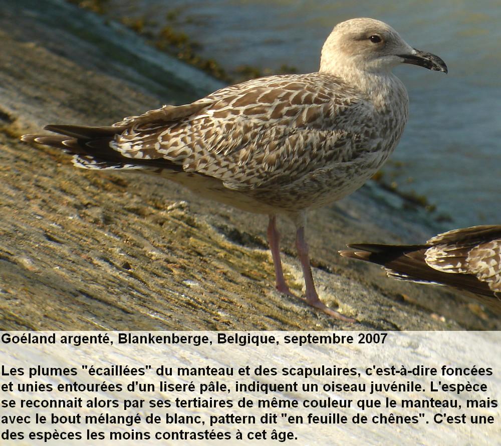 Larus_argentatus_1fr.jpg