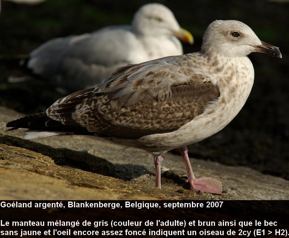 Larus_argentatus_3fr.jpg