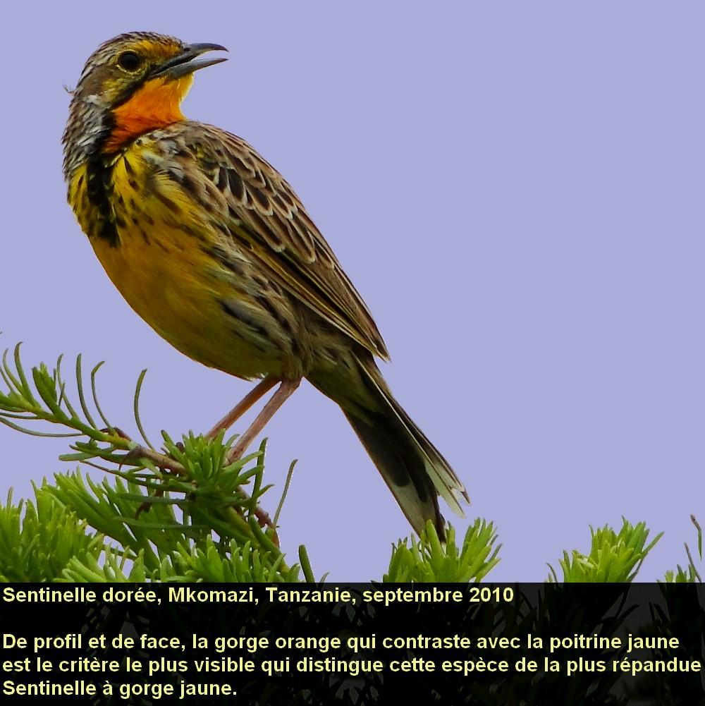 Macronyx_aurantiigula_3fr.jpg
