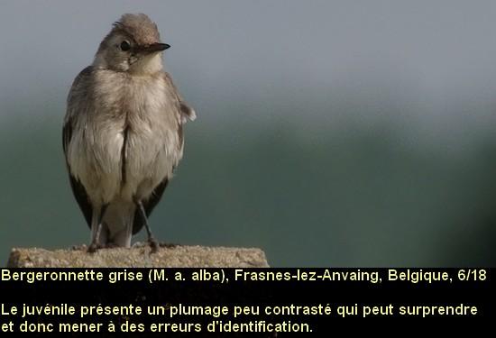 Motacilla_alba_1fr