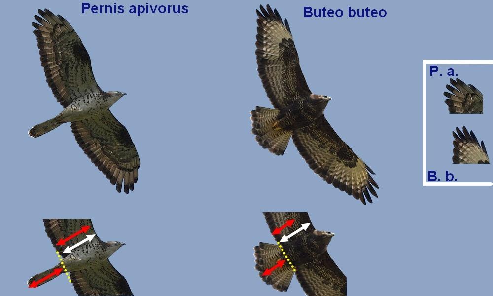 Pernis_buteo_queue1.jpg