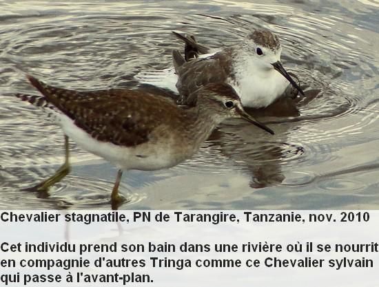 Tringa_stagnatilis_1fr.jpg