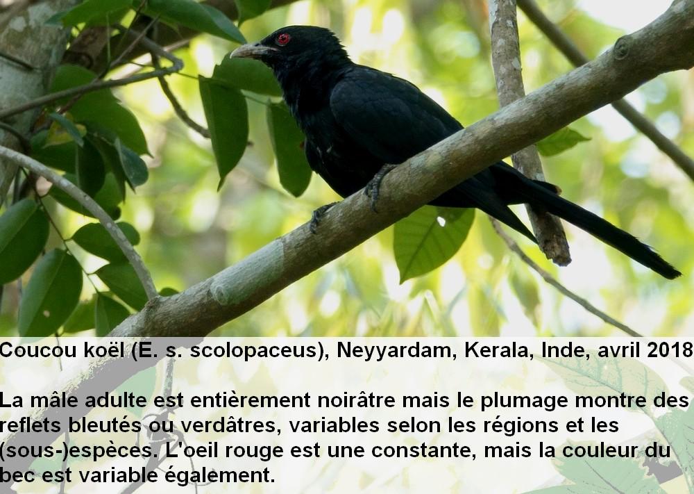Eudynamys_scolopaceus_1fr.jpg