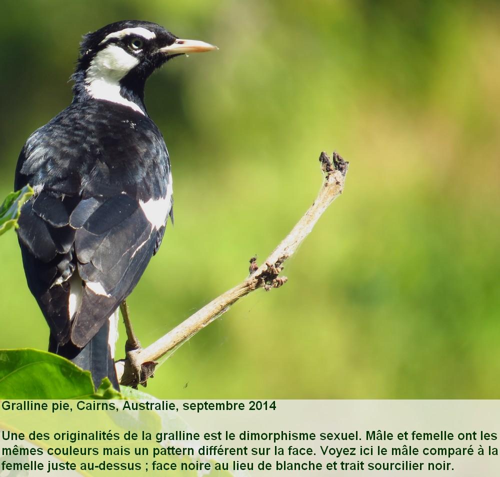 Grallina_cyanoleuca_2fr.jpg
