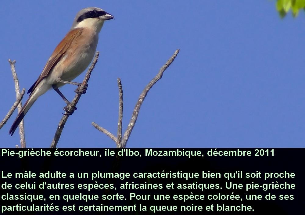 Lanius_collurio_2mozfr.jpg