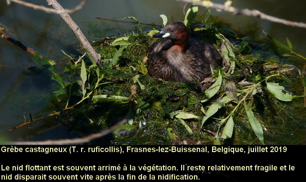 Tachybaptus_ruficollis_6fr.jpg