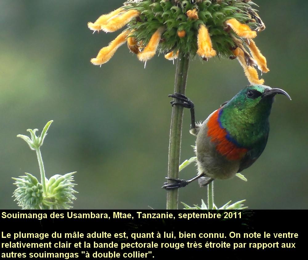 Cinnyris_usambaricus_6fr.jpg