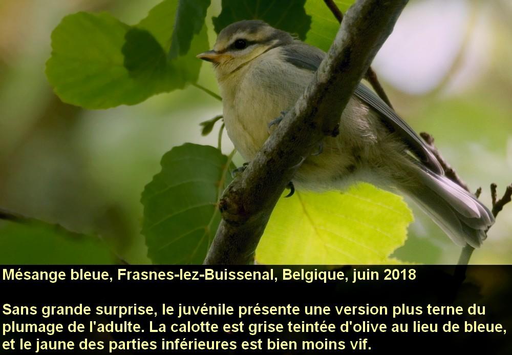 Cyanistes_caeruleus_2fr.jpg