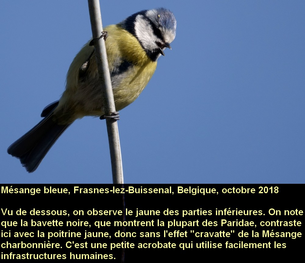 Cyanistes_caeruleus_7fr.jpg