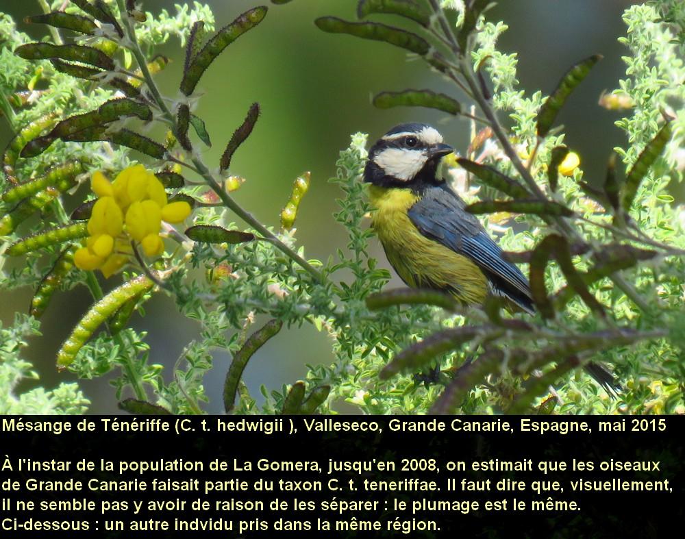 Cyanistes_teneriffae_3fr.jpg