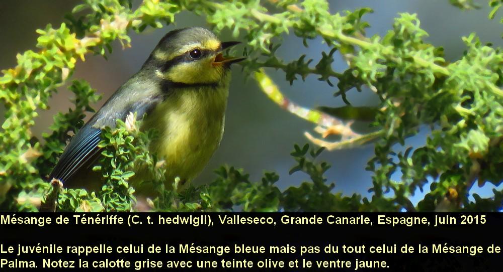 Cyanistes_teneriffae_5fr