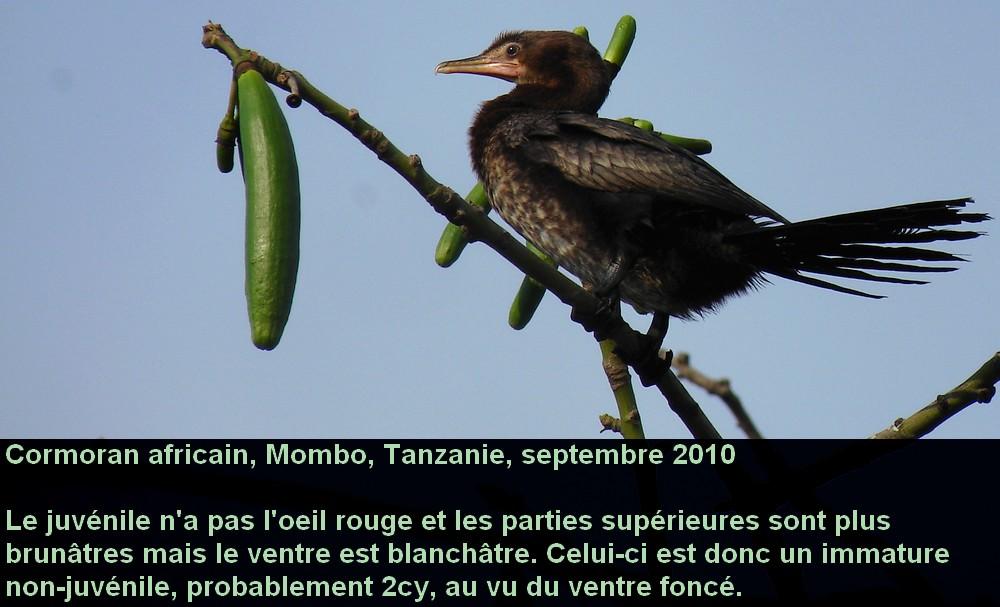 Microcarbo_africanus_4fr