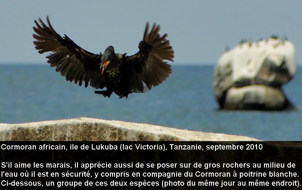 Microcarbo_africanus_7fr