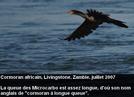 Microcarbo_africanus_8fr.jpg