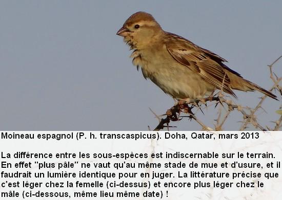 Passer_hispaniolensis_1fr