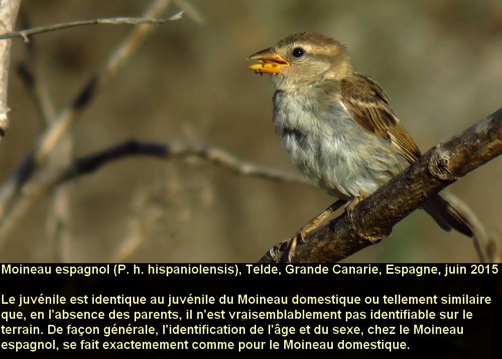 Passer_hispaniolensis_3fr.jpg