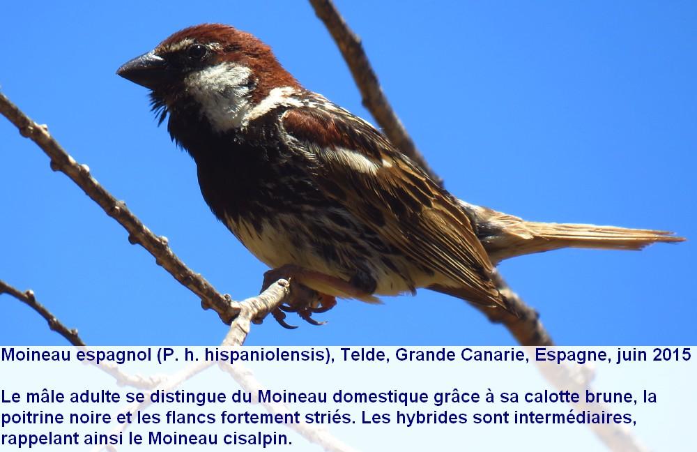 Passer_hispaniolensis_4fr.jpg