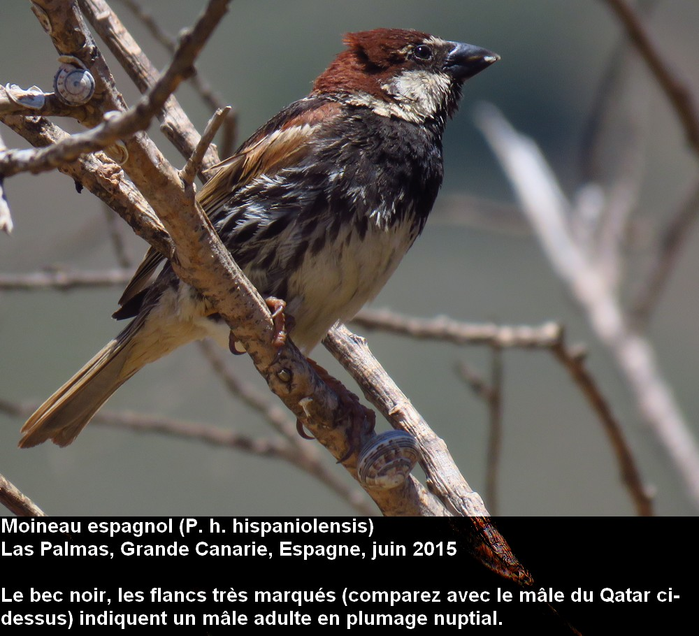 Passer_hispaniolensis_5fr.jpg
