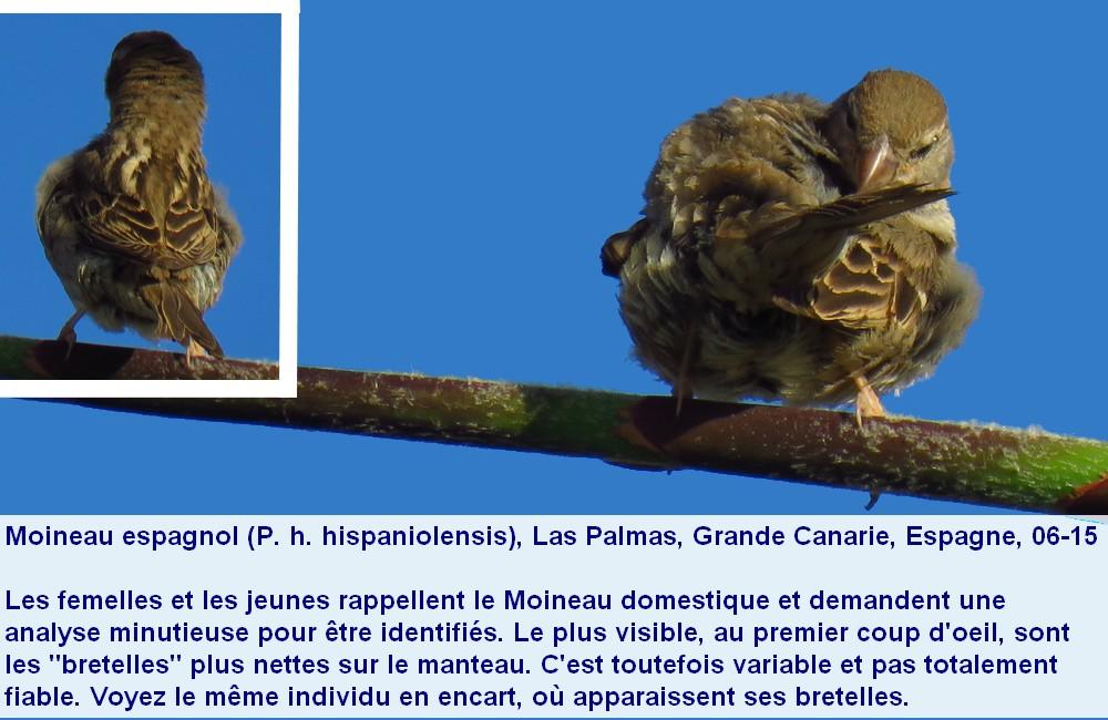 Passer_hispaniolensis_6fr.jpg